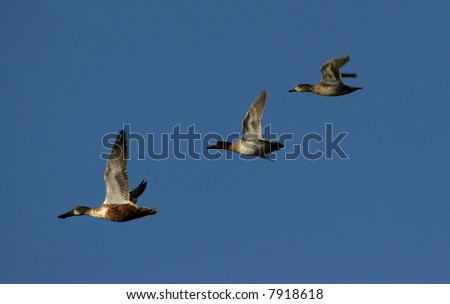 Canadian geese travel threw scenic blue sky as they migrate - stock photo