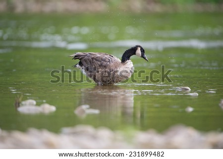 Canadian Goose - stock photo