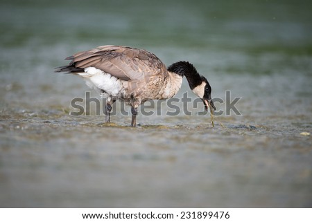 Canadian Goose chewing on some weeds. - stock photo