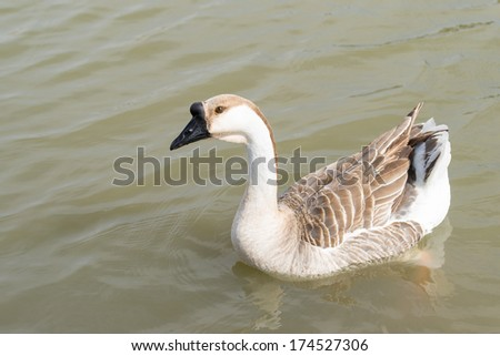 Canadian goose in alert profile position in water - stock photo