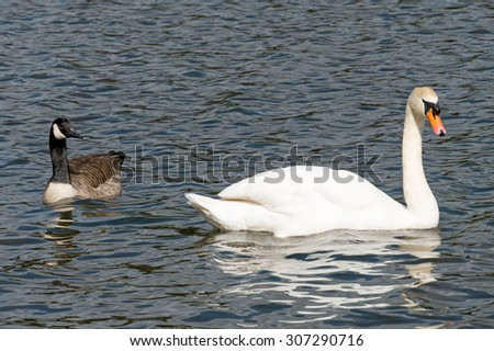 Canadian goose looking at a swan. - stock photo