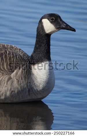 Canadian Goose swimming in a small pond. - stock photo