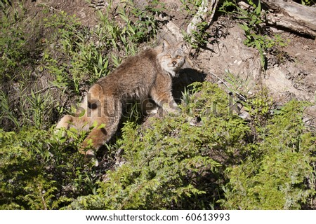 Canadian lynx jumps atop rocks.