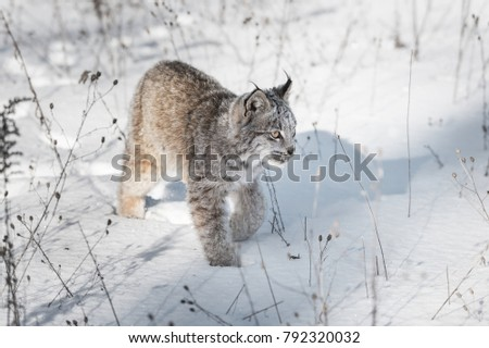 Canadian Lynx (Lynx canadensis) Walks Across Snow - captive animal