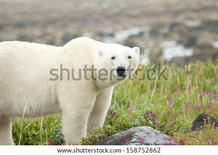 Canadian Polar Bear standing in the colorful arctic tundra of the Hudson Bay near Churchill, Manitoba in summer - stock photo