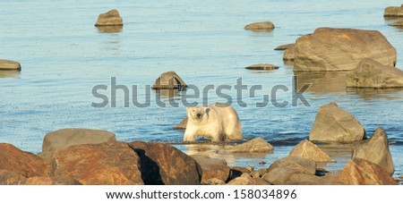 Canadian Polar Bear wading through the cold waters of the Hudson Bay near Churchill, Manitoba, in summer - stock photo