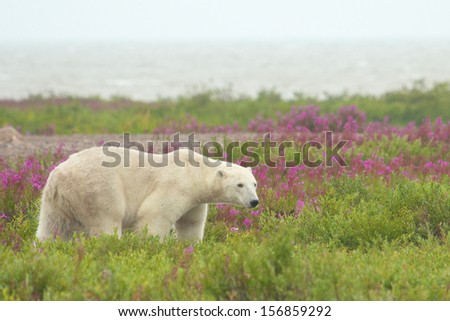 Canadian Polar Bear walking in the colorful arctic tundra of the Hudson Bay near Churchill, Manitoba in summer with the hazy bay in the background - stock photo