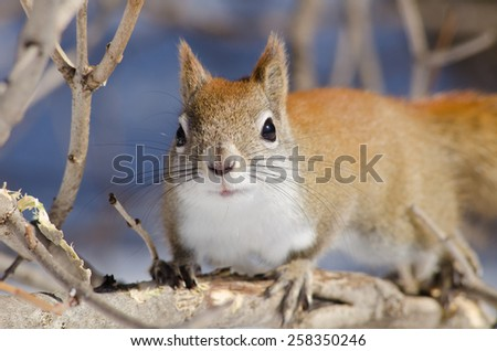 canadian red squirrel close up of face - stock photo