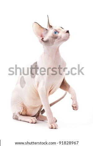 Canadian sphinx cat chocolate harlequin with blue eyes on white background - stock photo