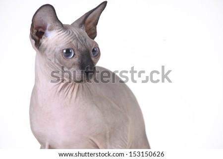 Canadian sphynx cat  - stock photo