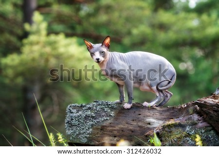 canadian sphynx cat outdoors in the forest - stock photo