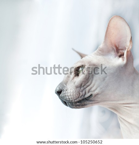 Canadian sphynx cat. Portrait - stock photo