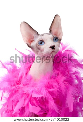 Canadian Sphynx cat wrapped in pink feather boa close-up isolated on white background  - stock photo