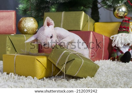 Canadian sphynx kitten christmass theme - stock photo
