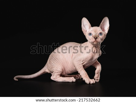 Canadian sphynx on black background