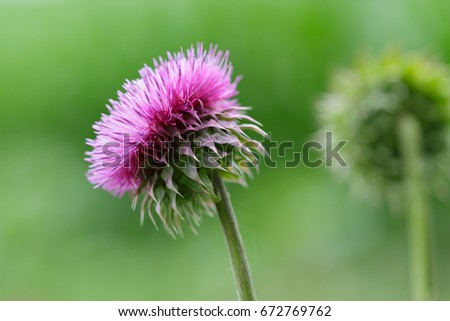 Canadian Thistle flower
