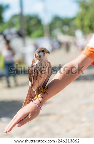 Canadian tourist child very happy playing with a  kestrel bird in the Valley of the Sugar Mills. Locals domesticate animals and as a tourist you can borrow them for photography - stock photo
