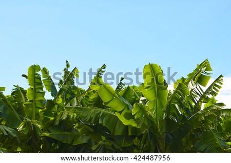 Canarian Banana plantation in Tenerife, Canary Islands,Spain. - stock photo