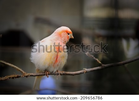 canary bird - stock photo