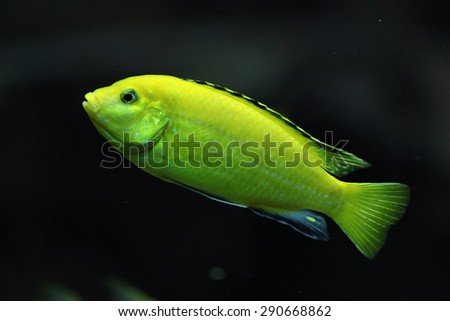 Canary cichlid (Labidochromis caeruleus). Wildlife animal.  - stock photo