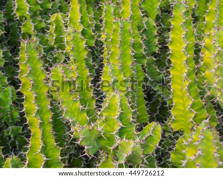 Candelabra cactus (Euphorbia lactea) is a species of spurge native to tropical Asia, mainly in India.