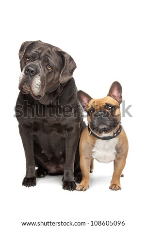 Cane Corso and French Bulldog sitting in front of a white background
