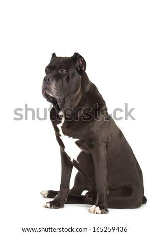 Cane Corso black dog isolated over white background - stock photo