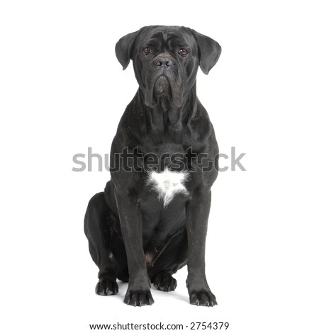 Cane Corso black sitting in front of white background