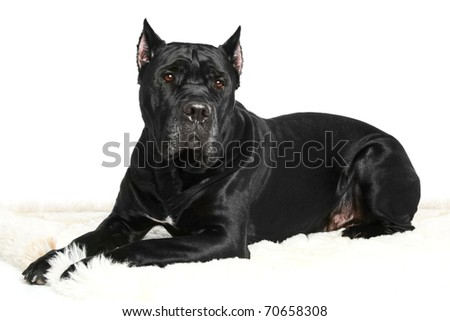Cane Corso breed dog lying on a white background