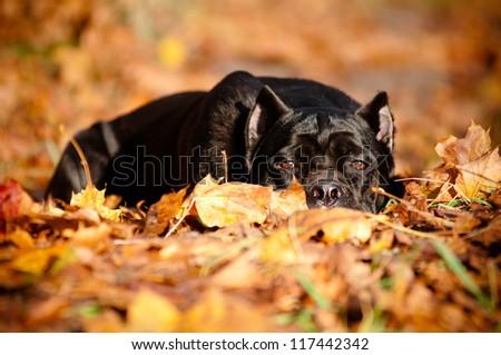 cane corso dog autumn fallen leaves portrait - stock photo