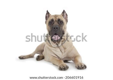 Cane Corso dog isolated over white background - stock photo