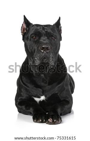 Cane Corso dog lying on a white background