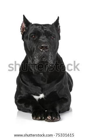 Cane Corso dog lying on a white background - stock photo
