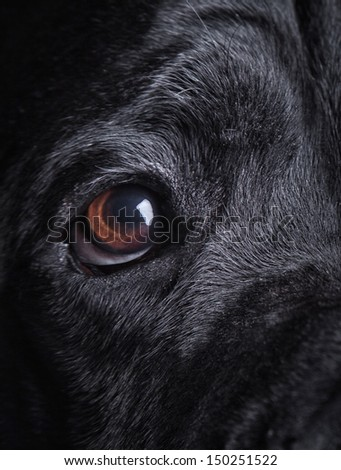 Cane Corso dog mystical black