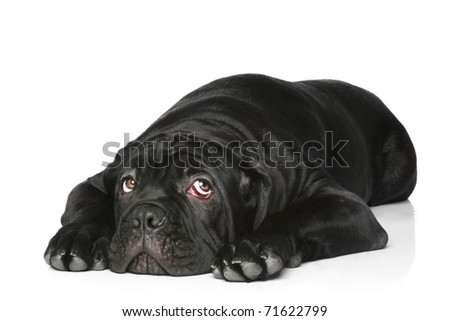 Cane corso dog puppy on a white background