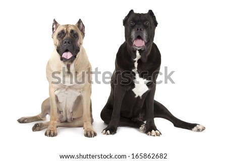 Cane Corso dogs isolated over white background - stock photo