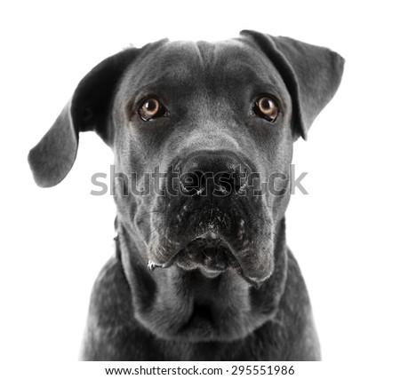Cane corso italiano dog, isolated on white - stock photo