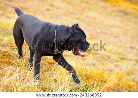 Cane corso italiano dog  walking in park in autumn - stock photo