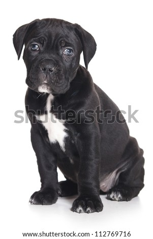 Cane Corso Italiano on white