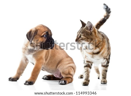 Cane Corso Italiano puppy and kitten breeds Bengal cat, Cat and dog - stock photo