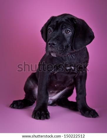 Cane Corso puppies black  - stock photo