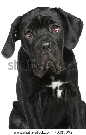 Cane-corso puppy close-up portrait on a white background