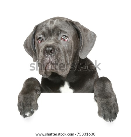 Cane Corso puppy gets out of the box on a white background - stock photo