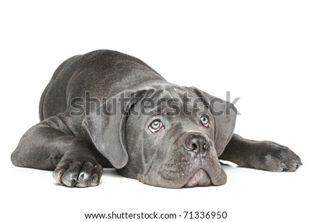 Cane Corso puppy lying on a white background - stock photo