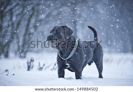 Cane Corso Snow - stock photo