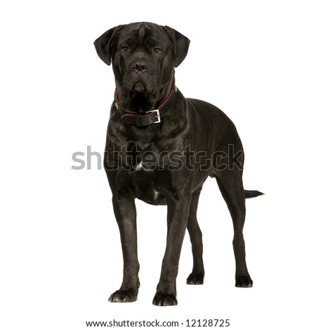 Cane Corso (2 years) in front of a white background - stock photo