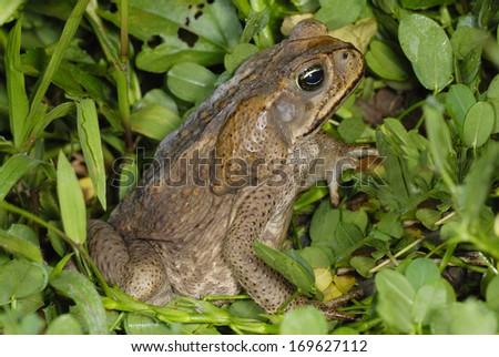Cane Toad (Rhinella marina) in Costa Rica rainforest - stock photo