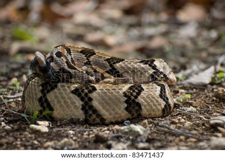 Canebrake Rattlesnake - stock photo