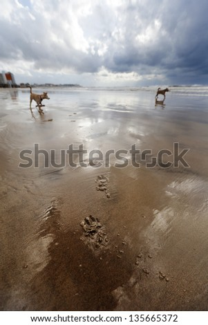 Canine paw prints on the wet beach sand on a winter day, with two dogs strolling in the background. - stock photo