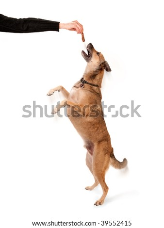Canine trainer holding a pet treat for jumping dog - stock photo